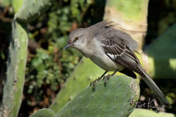 Northern Mockingbird, in fluffed up birds, (c) Photo by Steve Kaye