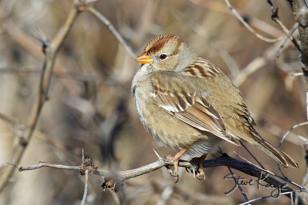 White-crowned Sparrow, 1st Year Juvenile, in fluffed up birds, (c) Photo by Steve Kaye