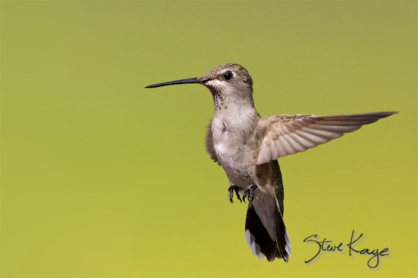 Black-chinned Hummingbird, Female, (c) Photo by Steve Kaye, in Extraordinary Photo Class