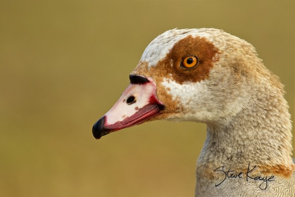 Egyptian Goose, Male, (c) Photo by Steve Kaye, in Birds Up Close