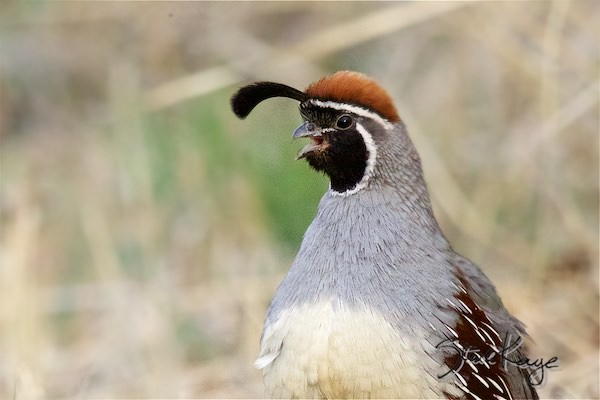 Gambel's Quail, Male, (c) Photo by Steve Kaye, in Life Lesson from a Quail
