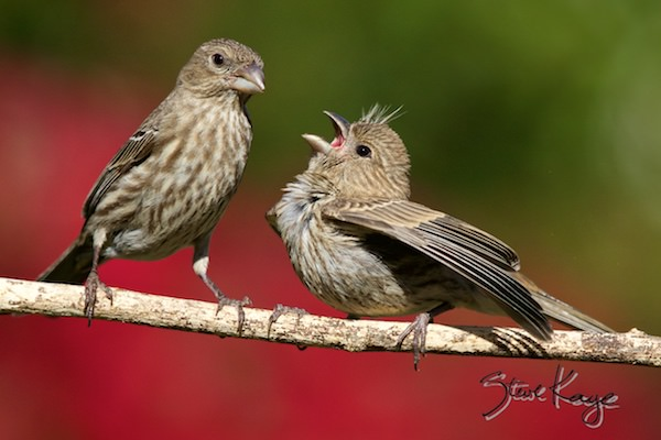 House Finch, Female Feeding a Juvenile, (c) Photo by Steve Kaye, in The House Finch Project