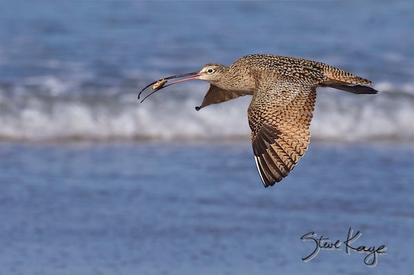 Long-billed Curlew, Flying with a Sand Crab, (c) Photo by Steve Kaye, in Extraordinary Photo Class