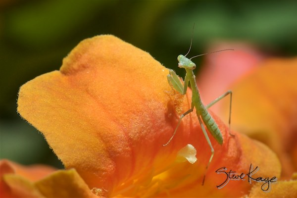 Praying Mantis, (c) Photo by Steve Kaye, in Extraordinary Photo Class