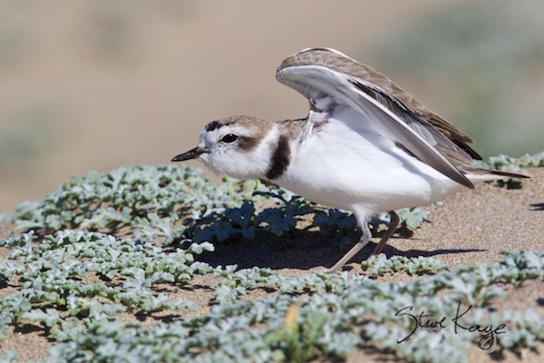 Snowy Plover, Male, (c) Photo by Steve Kaye, in Publications / Articles by Steve Kaye