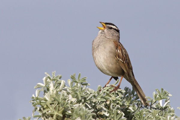 White-crowned Sparrow, © Photo by Steve Kaye, in Song of Courage