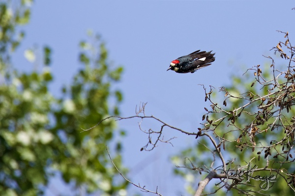 Acorn Woodpecker, © Photo by Steve Kaye, in post: Hey Ma, Look at Me! No Wings!