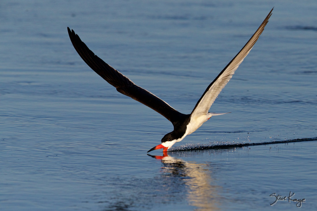 Black Skimmer, © Photo by Steve Kaye