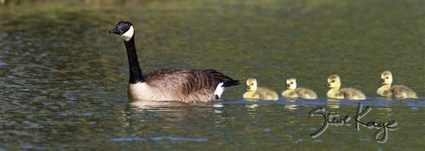 Canada Goose, Female and Goslings, (c) Photo by Steve Kaye, in Feathers Make the Goose