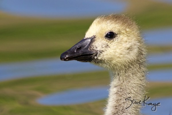 Canada Goose, Gosling, © Photo by Steve Kaye, in Feathers Make the Goose