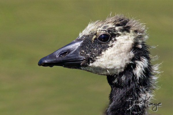 Canada Goose, Juvenile, © Photo by Steve Kaye, in Feathers Make the Goose