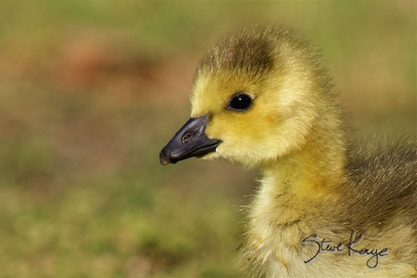 Canada Goose Gosling, © Photo by Steve Kaye, in Feathers Make the Goose