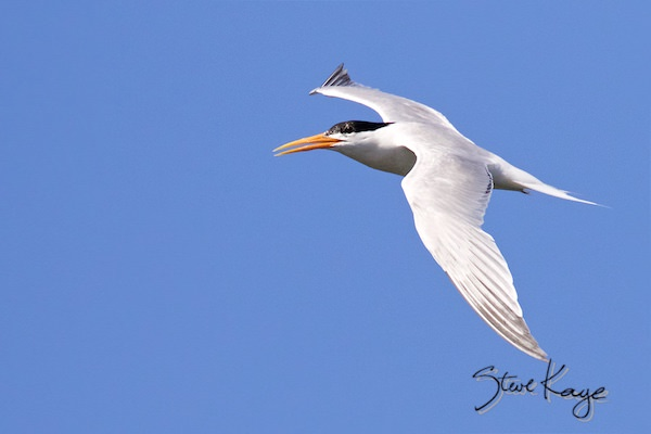 Elegant Tern, © Photo by Steve Kaye, in Green Business