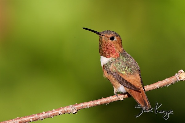 Allen's Hummingbird, © Photo by Steve Kaye, in Little Big Bird