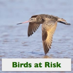 Marbled Godwit, © Photo by Steve Kaye, in See Bird Photos