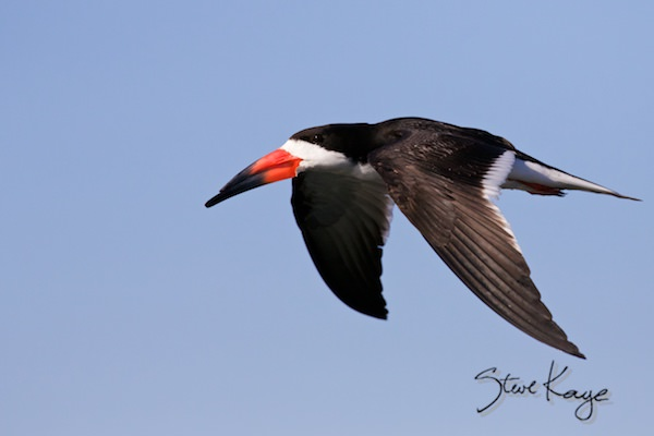 Black Skimmer, © Photo by Steve Kaye, in Photo Equipment
