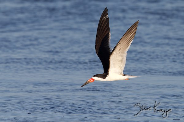 Black Skimmer, (c) Photo by Steve Kaye, in photo article: Watchlist Birds