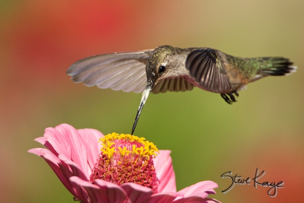 Anna's Hummingbird, Female, © Photo by Steve Kaye, in Hummingbird Wisdom