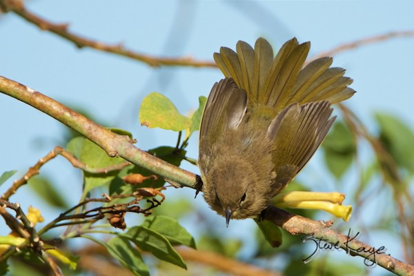 Common Yellowthroat, Female, © Photo by Steve Kaye, in How to Be Lucky