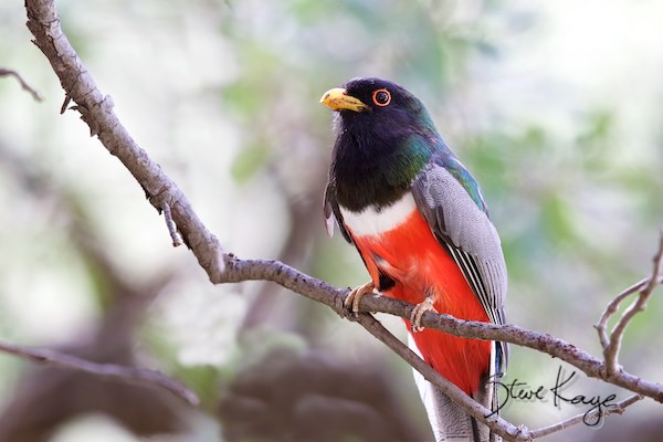 Elegant Trogon, © Photo by Steve Kaye, in how to find an Elegant Trogon