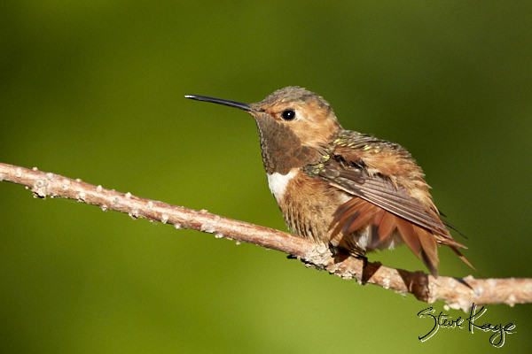 Allen's Hummingbird, © Photo by Steve Kaye, in Post: Uncommon Hummingbird Photos