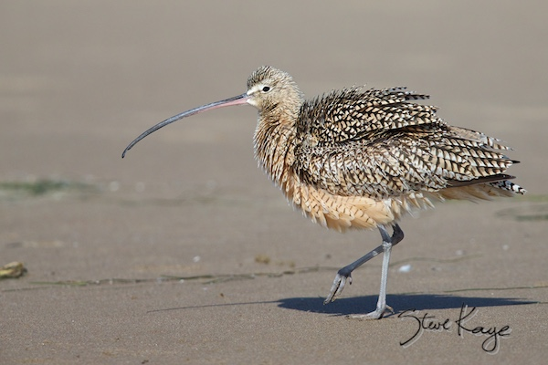 Long-billed Curlew, © Photo by Steve Kaye, in Fluffed up Birds
