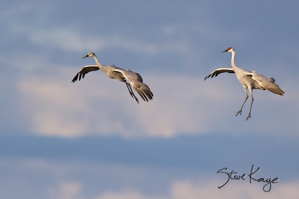 Sandhill Crane, © Photo by Steve Kaye, in blog about Wing Flaps and the Meaning of Flight