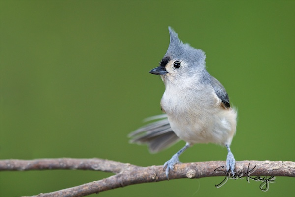 Tufted Titmouse, © Photo by Steve Kaye, in post: Why Is the Tufted Titmouse a Good Bird?