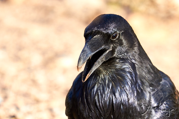 "ommon Raven, © Photo by Steve Kaye, in blog ""Shudder at These Spooky Birds"""