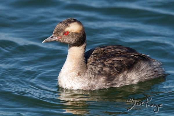 Horned Grebe, © Photo by Steve Kaye, in Bird Photos