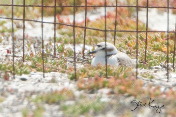 "Snowy Plover, © Photo by Steve Kaye, in blog ""Shudder at These Spooky Birds"""