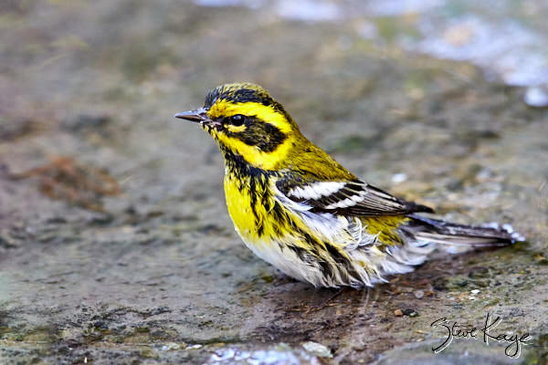 Townsend's Warbler, © Photo by Steve Kaye, in post Wet Warblers