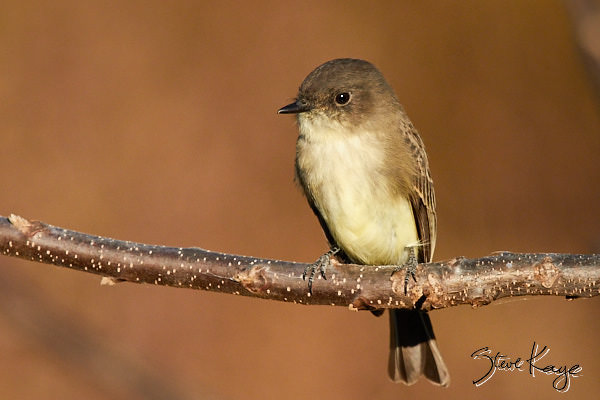 "Eastern Phoebe, © Photo by Steve Kaye, in blog post, ""More Than Thanksgiving"""
