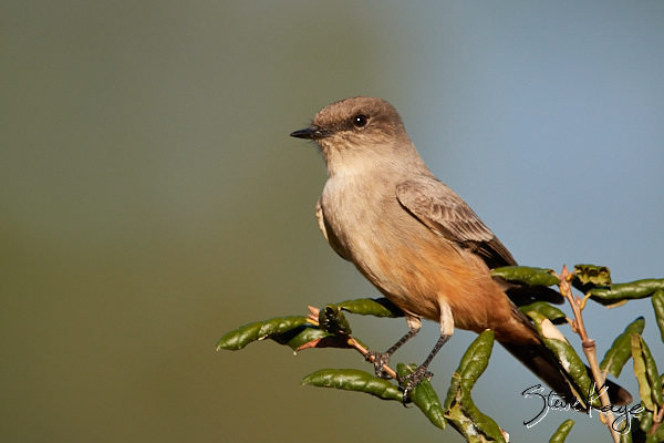 "Say's Phoebe, © Photo by Steve Kaye, in blog post, ""More Than Thanksgiving"""