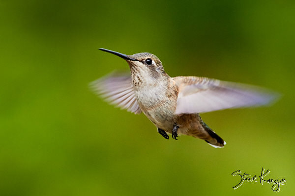 Allen's Hummingbird, Female, (c) Photo by Steve Kaye, in blog post: No Content