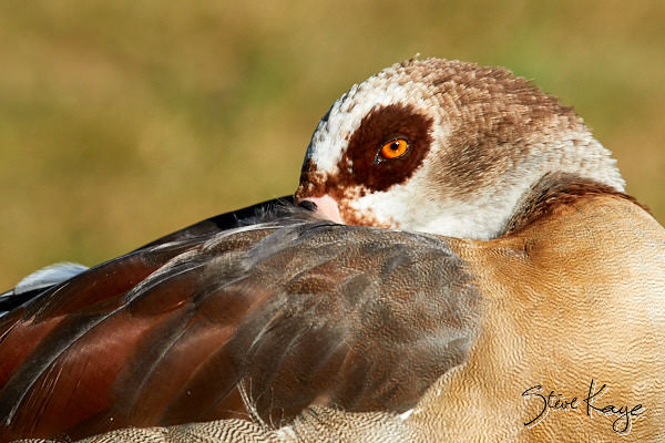 Egyptian Goose, Female, © Photo by Steve Kaye, in blog post: Take time to rest