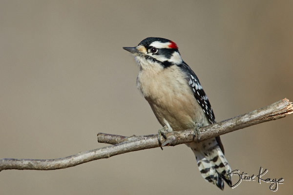 "Downy Woodpecker, Male, © Photo by Steve Kaye, in blog post, ""The Bird Next Door"""