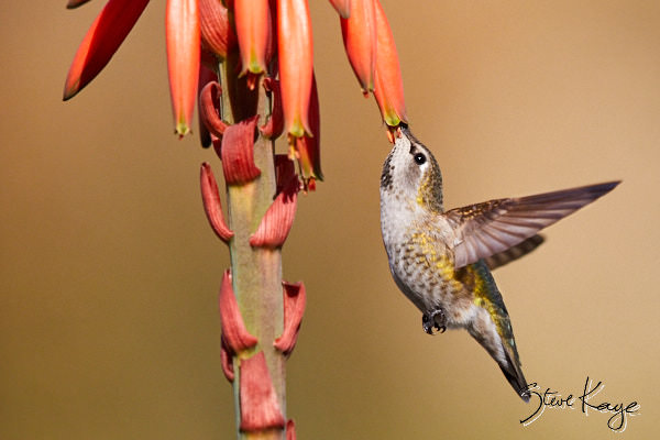 Anna's Hummingbird, Female, © Photo by Steve Kaye, in blog post - Grateful for Gifts
