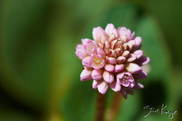 Pink Knotweed (Polygonum Capitatum), (c) Photo by Steve Kaye